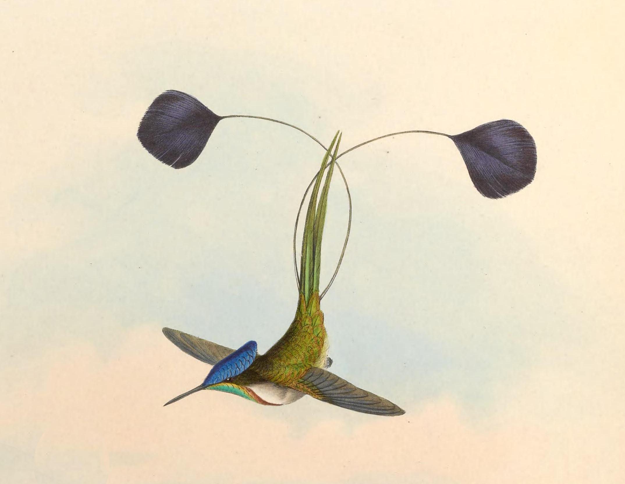 O beija-flor Loddigesia mirabilis, redescoberto por Augusto Ruschi. Ilustração: John Gould